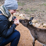 Kangaroo Island_Kangaroo