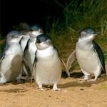 Phillip Island Penguin Tour - Penguins