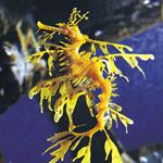 Melbourne Aquarium Entry - Leafy Seadragon