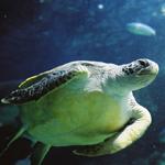 Melbourne Aquarium Entry - Turtle